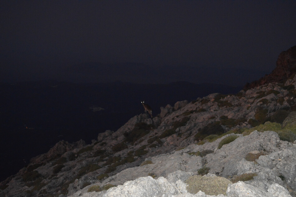 ibex at night